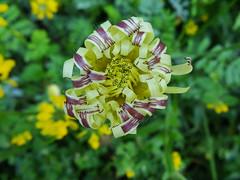Urospermum dalechampii (Scagliediterra) Tags: fiori flowers spring colors colori primavera natura nature blumen selvadigallignano