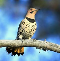 Pic flamboyant (Marie-Helene Levesque) Tags: oiseau abitibi valdor côtede100pieds loft pic picbois picflamboyant mariehélène mariehelene