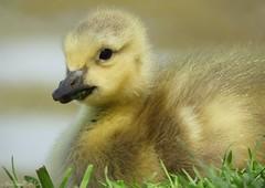 Baby Goose chick (NaturewithMar) Tags: 7dwf wednesday closeup macro baby geese duck bird wisconsin ngc npc