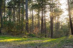 Forest (✦ Erdinc Ulas Photography ✦) Tags: lenstagger sun shining bos nederland netherlands schoorl nature trees green holland dutch focus panasonic leaf sunset spring groen natuur boom zon minolta hout bomen zoom md landscape inside shine shadow