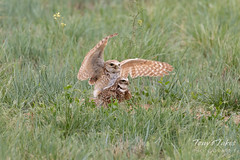 Burrowing Owl mating sequence - 19 of 22