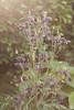 DN9A0286 (Josette Veltman) Tags: garden green nature plant sunlight backlight tegenlicht bloemen tuin groen paars