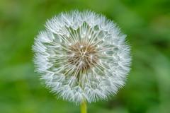 Cluster Bomb (@richlewis) Tags: fujifilmxt1 fujinonxf80mmf28rlmoiswrmacro canterbury kent flower taraxacum dandelion seedhead macro