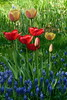 Spring Colors (evisdotter) Tags: spring colors vårfärger pärlhyacinter tulpaner tulips flowers blommor macro light sooc