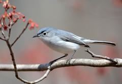 Blue-gray Gnatcatcher (av8s) Tags: bluegraygnatcatcher gnatcatcher birds perchingbirds songbirds nature wildlife pennsylvania pa photography nikon d7100 sigma 120400mm