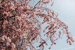 20180413 Sakura (chromewaves) Tags: fujifilm xt20 xf 1855mm f284 r lm ois lake kawaguchiko japan mount fuji kawaguchi