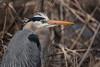 Grand héron - Great Blue Heron - Ardea herodias (Suzanne Houle) Tags: grandhéron greatblueheron
