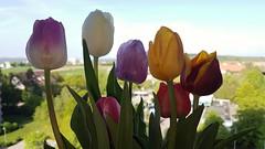Tulips (eagle1effi) Tags: s7 tulpen tulips flower blumenstraus bouquet