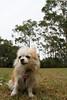 20180425-IMG_3202 (PM Clark) Tags: chihuahua pure bred long coat jezebel sydney australia