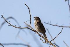 Song sparrow (Melospiza melodia) (octothorpe enthusiast) Tags: lostlagoon stanleypark vancouver britishcolumbia songsparrow melospizamelodia