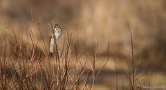 Song Sparrow (Melissa M McCarthy) Tags: songsparrow sparrow bird songbird cute tiny animal nature wildlife outdoor neutral brown environmental scene spring stjohns newfoundland canada canon7dmarkii canon100400isii
