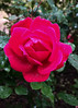 rose (zamburak) Tags: rose flower 365the2018edition 3652018 day112365 22apr18