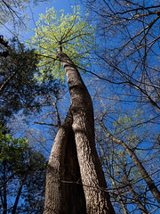 spring springing (RubyT (I come here for cameraderie!)) Tags: olympusomde10ii m1442iir tree sky tall blue green spring forest woods landscape