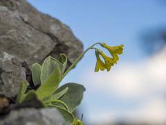 P4220005 (turbok) Tags: alpenpflanzen petergstammprimulabalbisi pflanze wildpflanzen c kurt krimberger