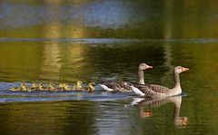Precious and Fragile Things (Alan MacKenzie) Tags: greylag geese goslings baby family birds wildlife nature young spring