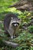 raccoon (Cloudtail the Snow Leopard) Tags: waschbär tier animal mammal säugetier schupp procyon lotor racoon coon common north american northern wildpark pforzheim jubiläum