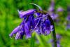 Bluebell Rain (Geoff Henson) Tags: raindrop water droplet bluebell flower grass macro nikon sigma