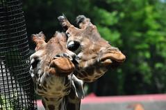 キリン キリン (yuki_alm_misa) Tags: 動物園 多摩動物公園 zoo キリン giraffe tamazoologicalpark