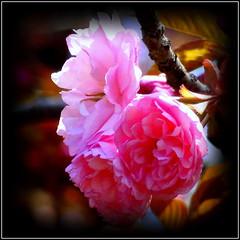Natural Wonder (dimaruss34) Tags: newyork brooklyn dmitriyfomenko image flower sakura
