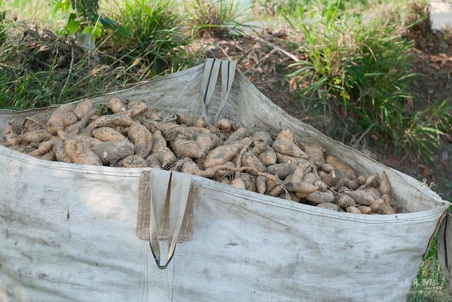 原來地瓜是這樣採收,還有人專門撿剩下的蕃薯(5)