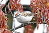 Chipping Sparrow (Anne Ahearne) Tags: bird nature wild animal wildlife chippingsparrow cute sparrow maple tree
