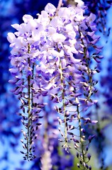 Purple Flow (barbara_donders) Tags: natuur nature spring lente paars waterval waterfall tree boom magical beautifull prachtig mooi macro bokeh dof flowers bloemen