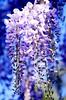 Purple Flow (barbara_donders) Tags: natuur nature spring lente paars waterval waterfall tree boom magical beautifull prachtig mooi macro bokeh dof flowers bloemen