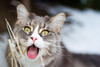 Silly Face (Karolina Demczuk) Tags: cat maine coon mco fluffy longhair pet animal portrait blue tabby eyes outdoors nature snow winter funny tongue