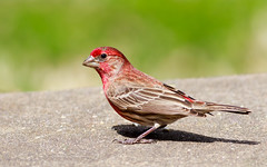 House finch male (Lynn Tweedie) Tags: bokeh ef400mm56usm beak tail canon ngc animal male colorful feathers bird housefinch green eos missouri red eye 7dmarkii