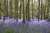 20180507_Austy Wood Bluebell Walk (Damien Walmsley) Tags: bluebells blue trees light walk shadows sun austywood