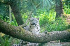 My Buddy (zenseas) Tags: cub spring washington wpz phinneyridge male aibek uniciaunica snowleopard woodlandparkzoo seattle pantherauncia friend buddy 10monthsold eyecontact
