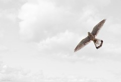 The Hawk flight (al.scuderi71) Tags: hawk gheppio bird falco flight volo clouds nuvole white brown marrone open wings ali aperte looking up on1 photo raw 2018 panasonic gh4 rule thirds regola dei terzi bianco on1pics