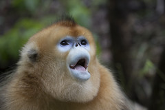 Golden snub nosed monkey. (richard.mcmanus.) Tags: china foping rainforest monkey goldensnubnosedmonkey primate mcmanus wildlife animals 中國