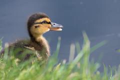 'Hey, take a portrait of me..!' :) 🐤🐣 (Gergely_Kiss) Tags: kiskacsa waterbirds lakeside veresegyházlakes mallard hatchedduckling duckling