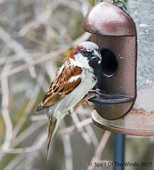 Sparrow (jimgspokane) Tags: sparrows frommyditchenwindow birds wildlife spokanewashingtonstate today´sbest