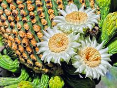 It's Your Day (VGPhotoz) Tags: vgphotoz saquarocactus 24hourstobloom plants nature arizona blossom cactus mothersday happy onedaytoblossom carnegieagigantea arizonastateflower silk marculescueugen portal