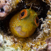 Little Yellow Blenny (Kit Sidlow) Tags: macro underwater underwaterphotography fish blenny diving scuba water wildlife nature natural animal animals colours canon yellow eye eyes sea spain ibiza mediterranean marine small face
