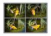 série poissons CARPE (thierrybalint) Tags: poisson fish carpe bassin eau papyrus nikoniste nikon balint thierrybalint tousdroitsréservés basin water carp allrightsreserved koi animal koï