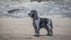 Handsome Boy (Anthony de Schoolmeester) Tags: cockerspaniel blueroan blackandwhite spaniel oli dog beach amroth wales westwales wetdog nikon nikond500 nikonafs1680f284 seaside sand