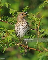 Song Thrush (Gary Chalker, Thanks for over 3,000,000. views) Tags: songthrush thrush bird pentax pentaxk3ii k3ii pentaxfa600mmf4edif fa600mmf4edif fa600mm 600mm