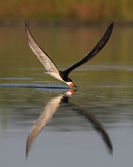 X Factor (PeterBrannon) Tags: bird fishing flight florida nature pinellascounty rynchopsniger skimmer skimming skimmingthesurface wildlife blackskimmer lowpov ocean