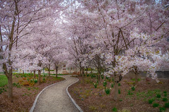 blossom canopy (kderricotte) Tags: blossom cherryblossom spring sony 1018mm sel1018 ilce7m2 sonya7ii wideangle park walkway bench