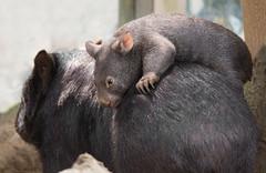 taxi driver (Anja Anlauf) Tags: wombat apari jungtier australien säugetier tier beuteltier natur