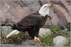 Josh 5125 (maguire33@verizon.net) Tags: grizzlyandwolfdiscoverycenter baldeagle bird birdofprey eagle raptor wildlife westyellowstone montana unitedstates us