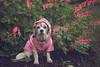 May showers bring May flowers too 20/52 (Boered) Tags: darla dog bleedingheart flowers rain raincoat 52weeksfordogs