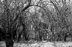 Raindrops (analogrem) Tags: rain raindrops analog film analogue blackandwhite blackw bw garden tree twigs wood trunk branches glittering water waterdrops wet nature fomapan
