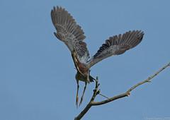 Green Heron (Chuck Hantis) Tags: