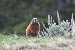 Marmot (adbecks) Tags: yellowstone marmot national parks wildlife