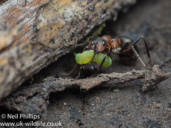 wood ant and caterpillar (Neil Phillips) Tags: formicarufa hymenoptera insecta ant arthropod arthropoda bug field hexapod insect invertebrate mound thatching woodant