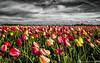 Tulip Armageddon! (fransvansteijn) Tags: rood